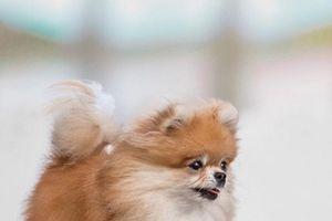 Nghị lực khó tin của chú chó tàn tật hạnh phúc nhất thế giới