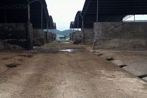 'Siêu' dự án nghìn tỷ nuôi bò sau 3 năm thành... bãi chuối