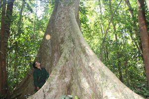 Sức sống mãnh liệt khu rừng chiến khu D lịch sử
