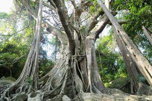 Cận cảnh cây đa hơn 800 tuổi trên bán đảo Sơn Trà