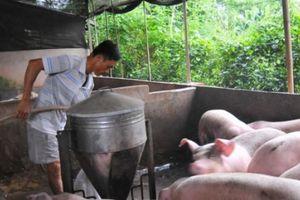 Giá heo hơi hôm nay 1/12: Dự báo mới nhất giá lợn hơi sắp tới