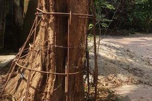 Ly kỳ những 'cuộc chiến' bảo vệ 'cụ sưa' trăm tỷ ở làng quê Việt
