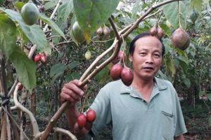 Tin lời 'đường mật', nông dân Lâm Đồng khốn khổ vì cây 'Magic S'