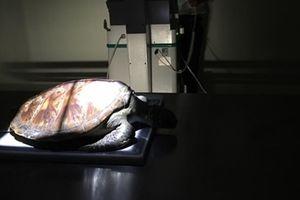 Nội soi gắp dị vật cứu sống rùa biển bị ngộ độc rác thải