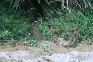 Cận cảnh rắn khổng lồ đấu tay ba, liên tiếp đè đầu vít cổ nhau