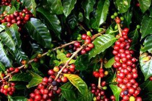 Giá nông sản hôm nay 3/12: Giá cà phê tươi 7.500 đồng/kg, giá tiêu im ắng