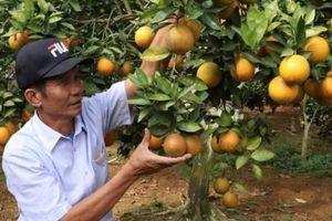 Bỏ cà phê trồng cam lòng vàng, 'bắt' đất dốc 'đẻ' cả tỷ bạc