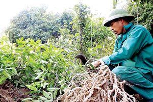 Bảo tồn và phát huy giá trị cây thuốc Việt - Bài 1: 'Vàng xanh' đang cạn kiệt