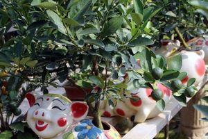 Đón Tết Đinh Hợi 2019: Heo vàng cõng quất bonsai lên ngôi?