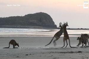Kangaroo đánh nhau trên bờ biển Australia
