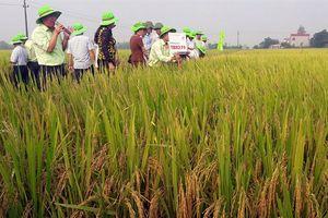 Thanh Hóa: Ưu tiên giống lúa chất lượng, ngắn ngày