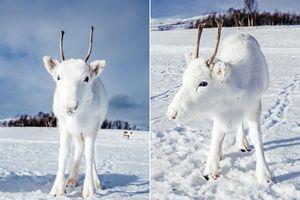 Tuần lộc trắng như bông tuyết xuất hiện, ai cũng choáng ngợp