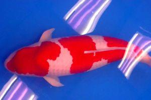 Chú cá Koi này có gì hấp dẫn mà được bán với giá lên tới hơn 41 tỷ đồng?
