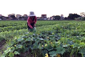 Khánh Hải: Giá bí xanh giảm mạnh
