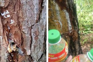 Vụ gần 700 cây thông bị đầu độc: Kỷ luật nhiều cá nhân, tập thể