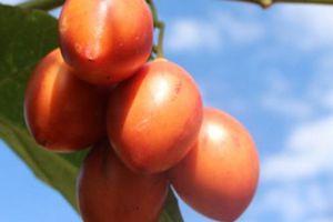 Ngậm 'trái đắng' vì cà chua thân gỗ MagicS, lỗi tại ai?