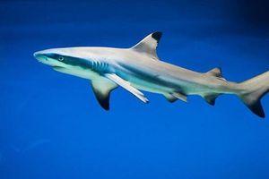 Những đặc điểm thú vị của loài cá mập