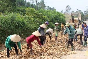 Lập tổ đổi công trong thu hoạch sắn ở Thanh Chương