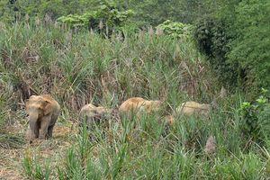 Khó khăn 'bài toán' bảo tồn voi rừng ở Nghệ An