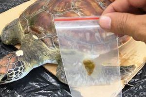 Rùa biển 'được mổ nội soi' đã chết do ngộ độc rác thải du lịch