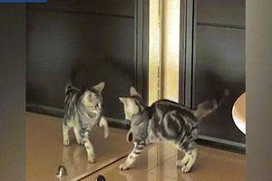 Mèo trước gương hành động khiến chủ không nhịn được cười