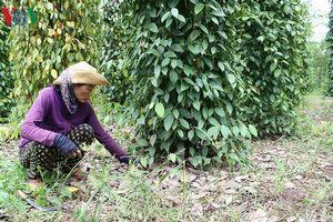 Bà Rịa - Vũng Tàu: Hồ tiêu được mùa, nông dân vẫn lo lắng