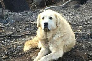 Sống sót sau vụ cháy, chú chó ở California vẫn về ngôi nhà đổ chờ chủ