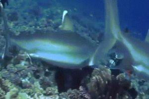 Thợ lặn bị 6 cá mập bao vây, cắn thẳng vào mặt