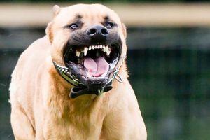 Những vụ chó Pitbull 'nổi điên' cắn người khủng khiếp nhất TG