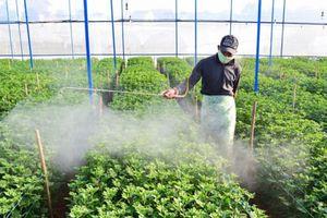 NN Tây Nguyên: Chuẩn bị 1.500ha hoa phục vụ Tết