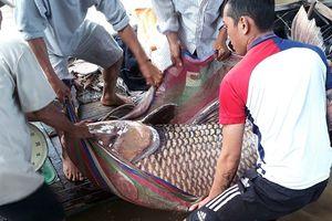 Bắt được cá hô vàng khủng, ngư dân Vĩnh Long bỏ túi hơn 300 triệu