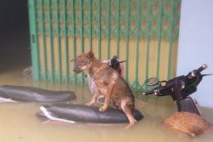 Quảng Nam: Người dân dầm mình trong nước dìu thú cưng đi tránh lũ