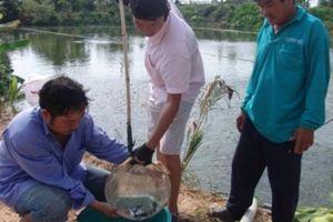 Nhiều vố thua đau, người ương cá tra giống 'chạy làng' hóa chất