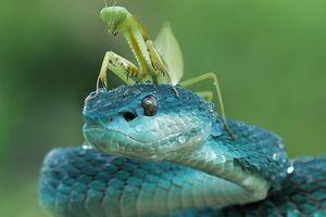 Ảnh động vật: Bọ ngựa cưỡi rắn độc, chim ưng 'chiến' thỏ...