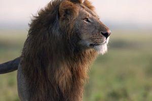 Vua sư tử kịch chiến với 20 con linh cẩu khát máu