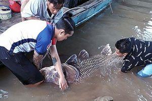 Bắt được cá hô khổng lồ nặng 125 ký, bán hơn 300 triệu đồng