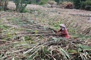 Nông dân U Minh Thượng lại điêu đứng vì vụ mía 'đắng'