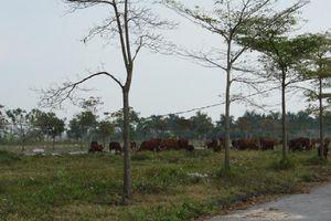 Sau 10 năm, Dự án Khu đô thị AIC Mê Linh vẫn chỉ để 'chăn bò'