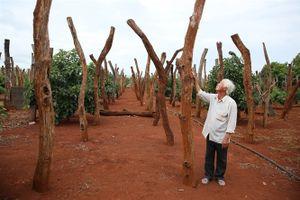 Giải pháp nào cứu người dân trồng cây tiêu?