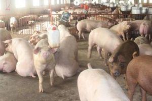 Giá heo hơi hôm nay 11/12: Giá lợn hơi lình xình, thấp thỏm ngóng vụ cuối năm
