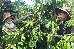 Mang lại sức sống cho những vườn cà phê