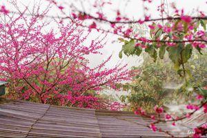 Trải nghiệm Pá Khoang ngắm hoa anh đào