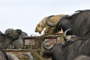 Sư tử suýt mất mạng vì bị cả đàn trâu nước vây