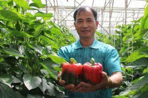 U50 thu 30 triệu/tháng nhờ trồng ớt chuông trái đỏ như son