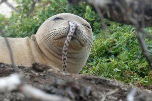 Khó tin loạt hải cẩu thầy tu Hawaii mắc lươn biển ở mũi