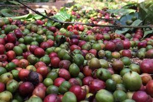 Giá trị thu được từ ngành cà phê chưa tương xứng