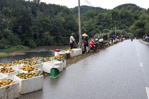 Hàng ngàn hộ dân Bắc Kạn đang khốn khổ vì quýt và dong riềng không tiêu thụ được!