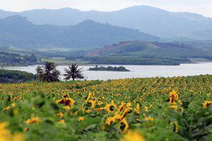Cánh đồng hoa hướng dương đẹp nhất Việt Nam bắt đầu nở rộ