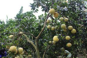 Phát triển cây có múi theo hướng sản xuất hàng hóa