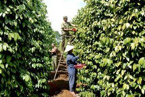 Nông sản ngày 14/12: Giá cà phê lao dốc, hồ tiêu đang ở mức thấp